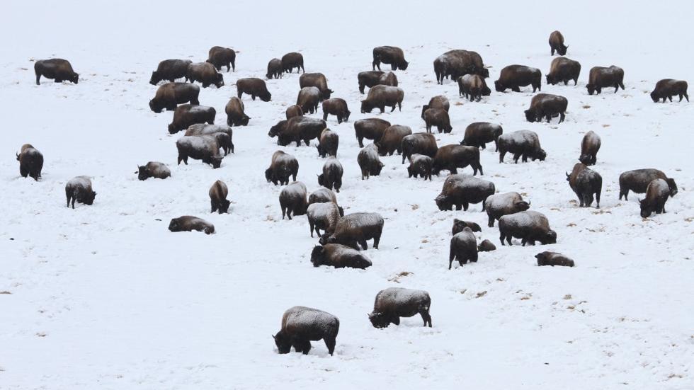 Йеллоусто́нский национа́льный парк, Йе́ллоустон (англ. Yellowstone National Park) — международный биосферный заповедник, объект Всемирного Наследия ЮНЕСКО, первый в мире национальный парк (основан 1 марта 1872 года). Находится в США, на территории штатов Вайоминг, Монтана и Айдахо. Парк знаменит многочисленными гейзерами и другими геотермическими объектами, богатой живой природой, живописными ландшафтами. Площадь парка — 898,3 тыс. га. БИЗОНЫ