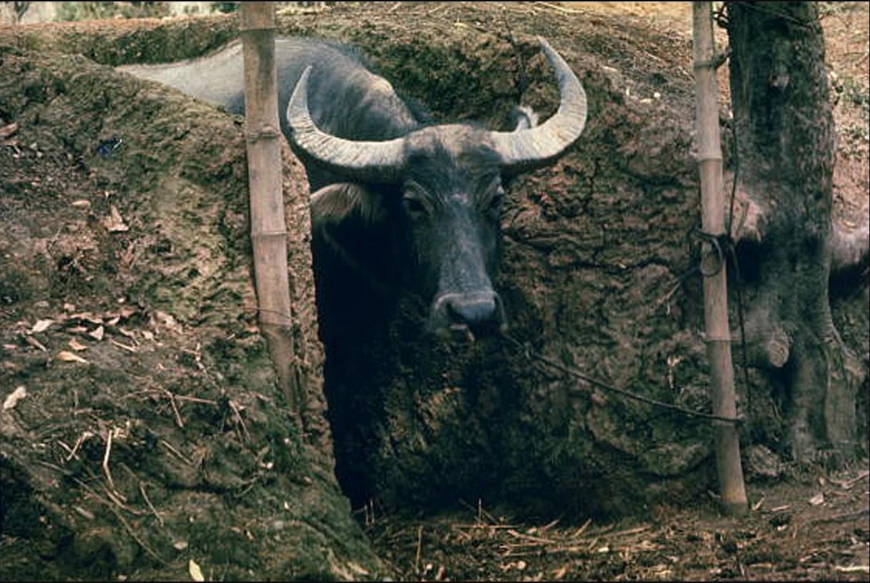 Водный буйвол привязан в специально построенном укрытии