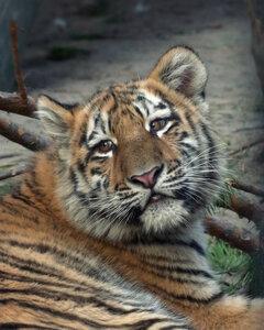 Грустный тигрёнок