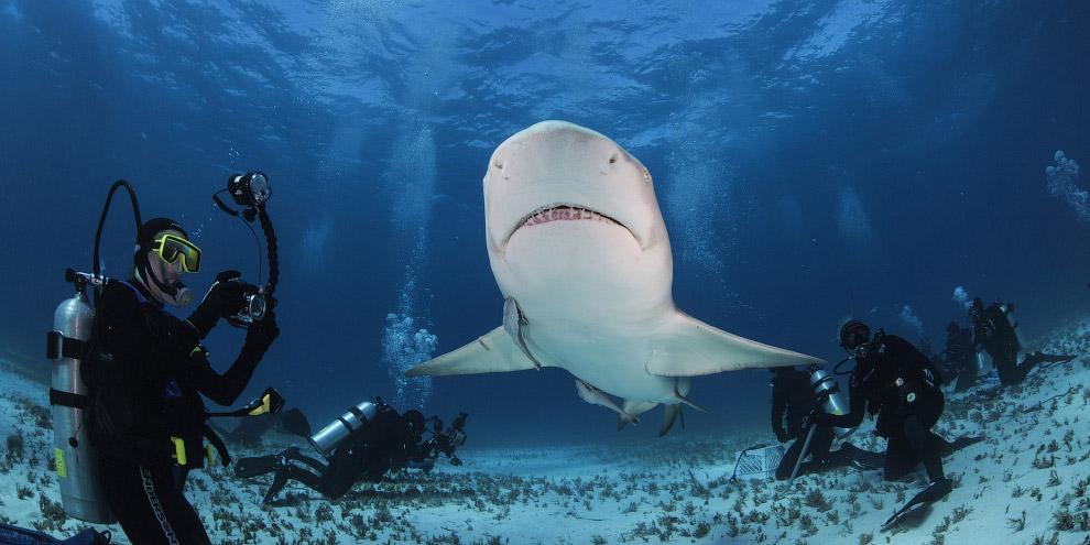 6. Максимальная зарегистрированная длина тигровой акулы согласно книге рекордов Гиннеса — 6.3