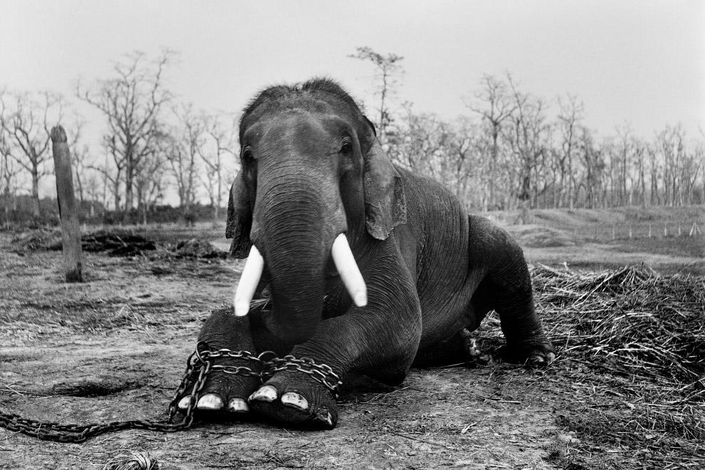 8. В 2016 году в Кении отправили в костер 105 тонн слоновой кости общей стоимостью более $100 миллио