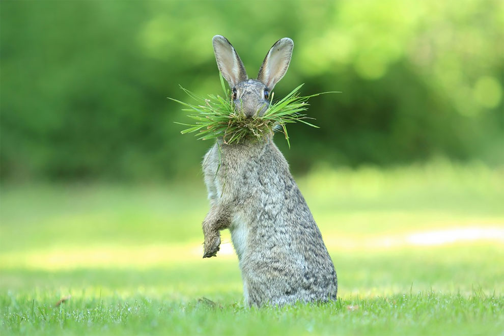 Дикий кролик собирается строить гнездо, Бельгия. Фото: Olivier Colle