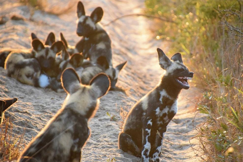 Отличная шутка! Стая гиеновидных собак, парк слонов Тембе, Южная Африка. Фото: Tina Stehr