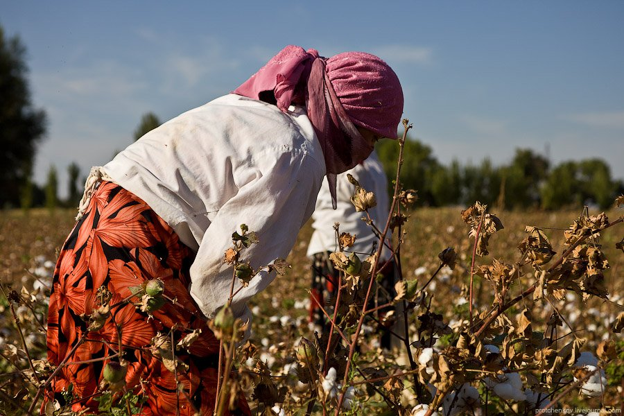 Детский труд . У школьников в Узбекистане начинаются каникулы в середине сентября, к