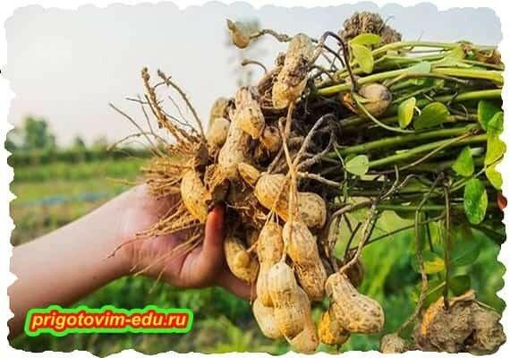 Как выращивать арахис на наших грядках.jpg