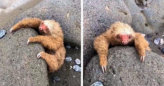 Спасение маленького ленивца, который застрял на пляже и громко плакал