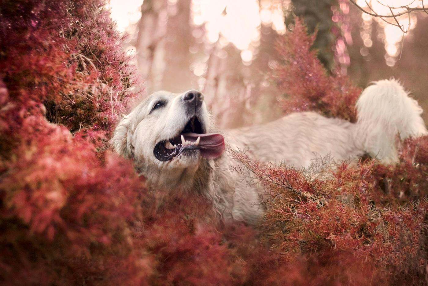 Золотой ротвейлер / фото Kasia Doroszkiewicz