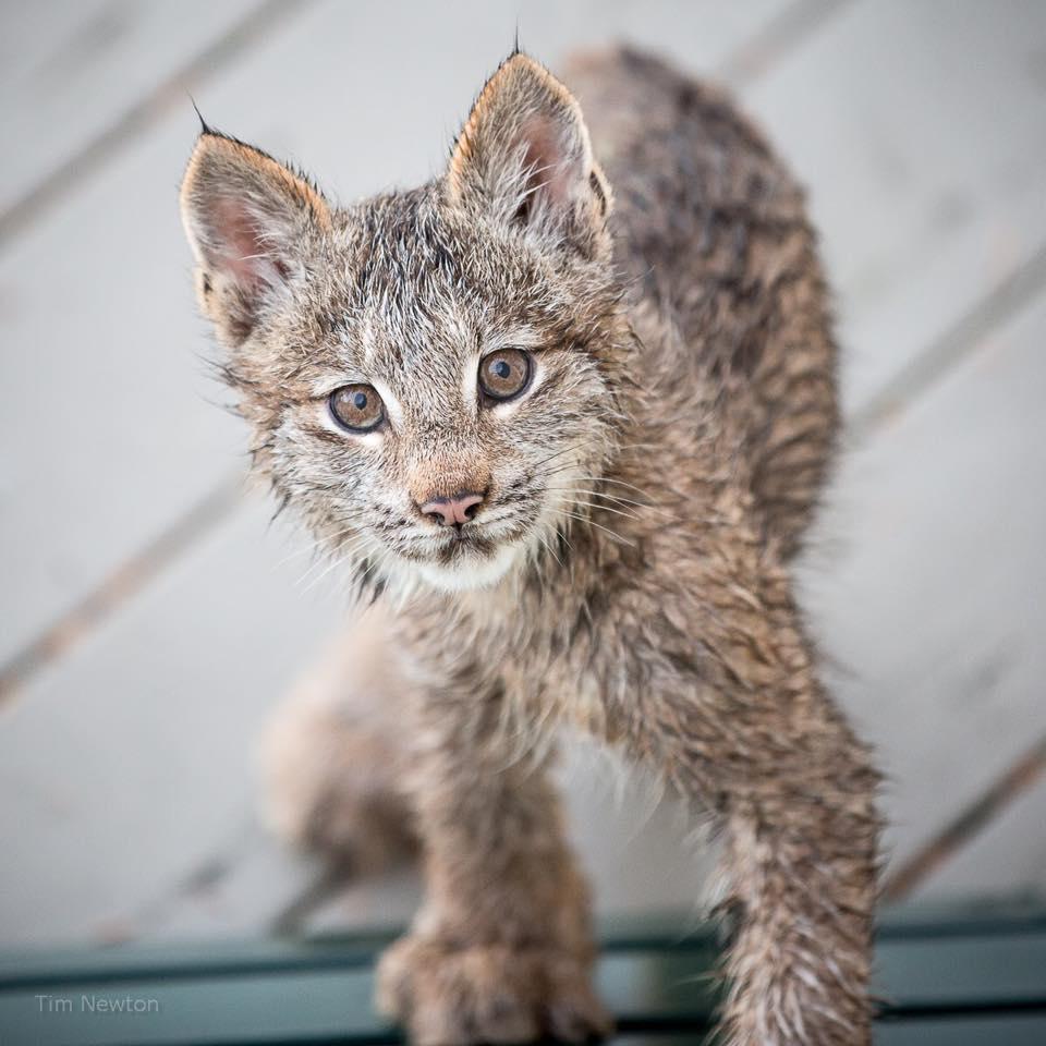 Как дикие рыси появились на веранде жилого дома на Аляске
