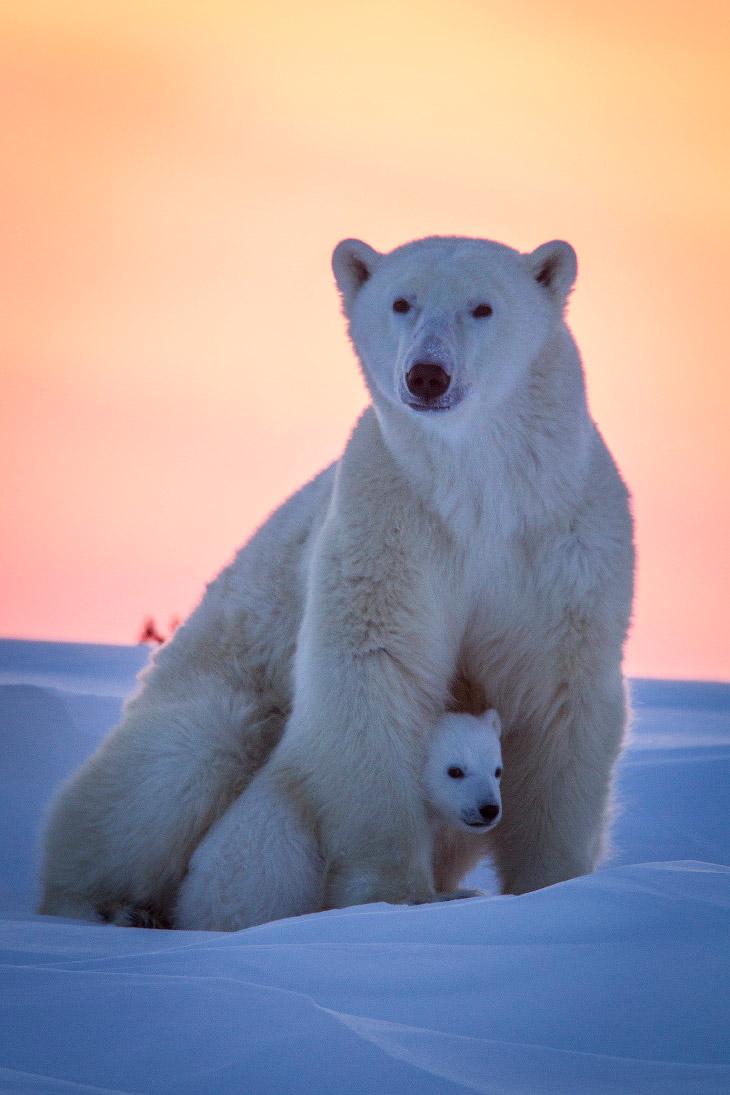 2. Латинское название белого медведя — Ursus maritimus, оно переводится как «медведь морской».