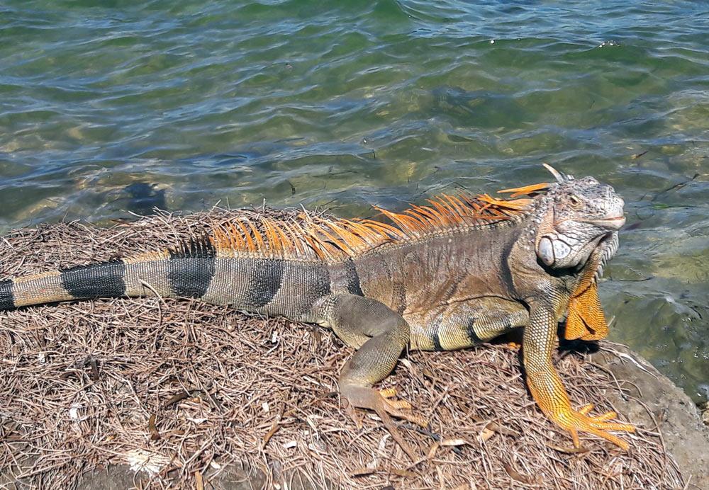 Florida keys. Iguana