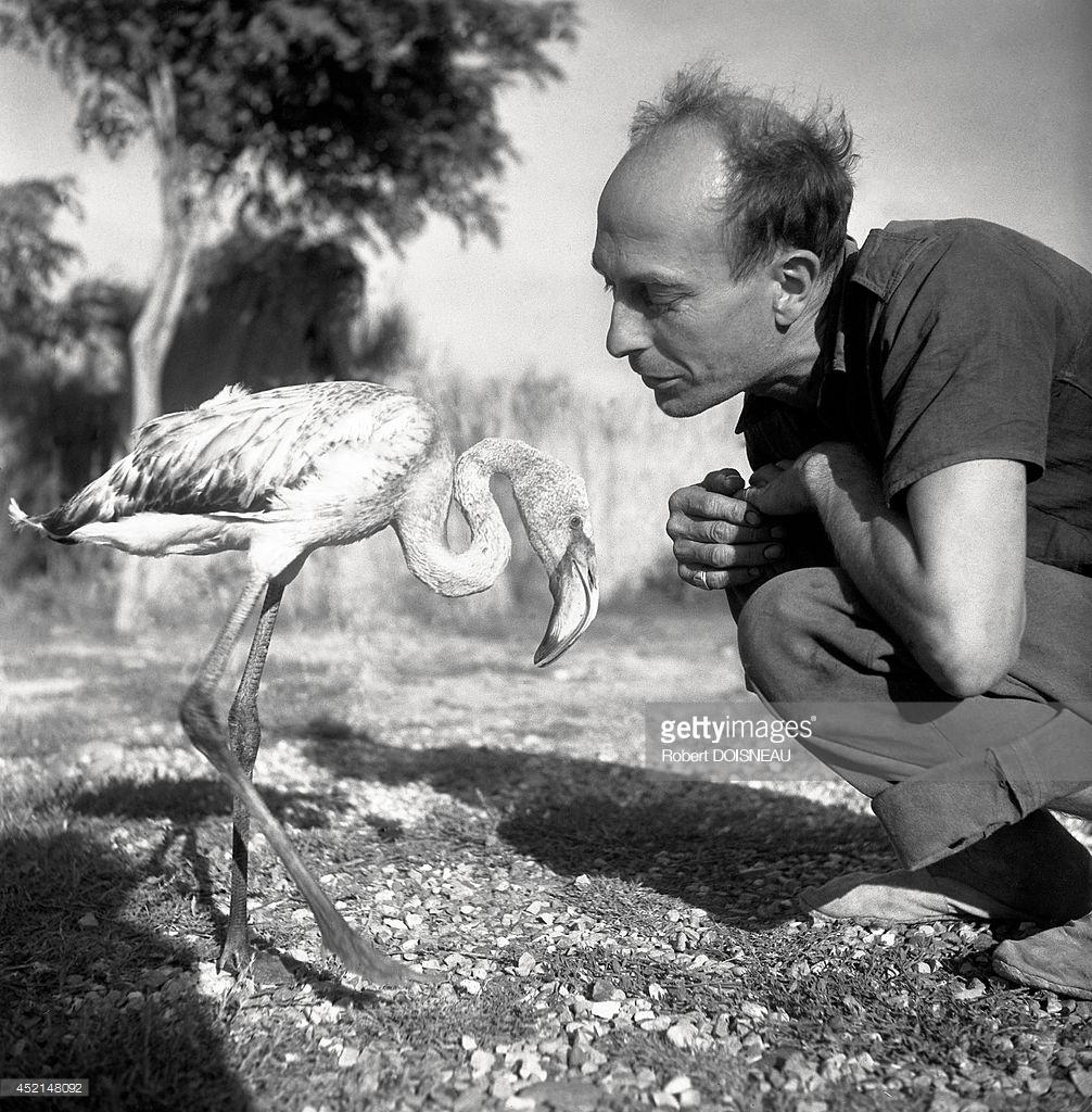 1947. Камарг (региональный природный парк). Розовый фламинго