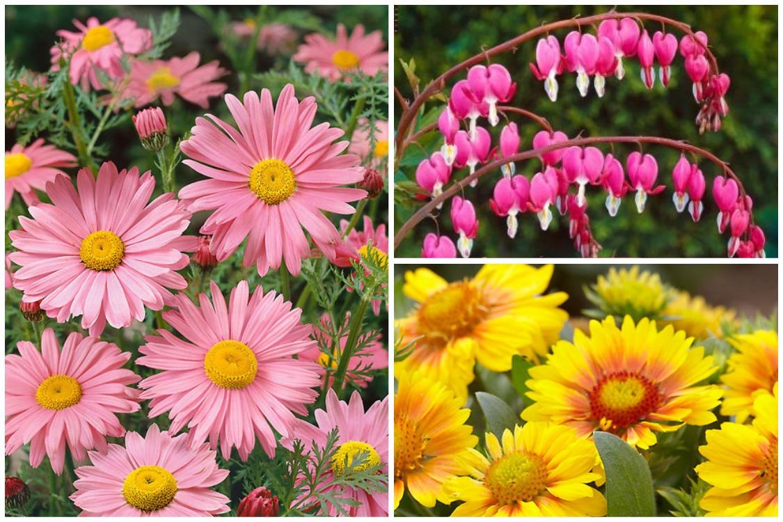 Многолетние цветы, переносящие жару