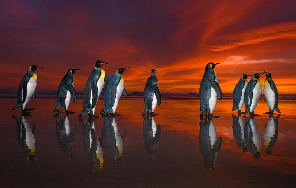 3. Взрослые птицы имеют серую спину, по бокам чёрной головы и на груди крупные яркие оранжевые пятна