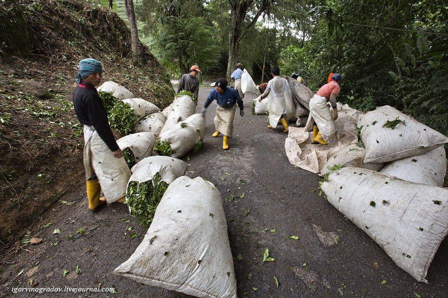 Чайные плантации Камеронских гор