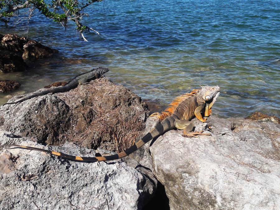 Florida keys. Iguanas