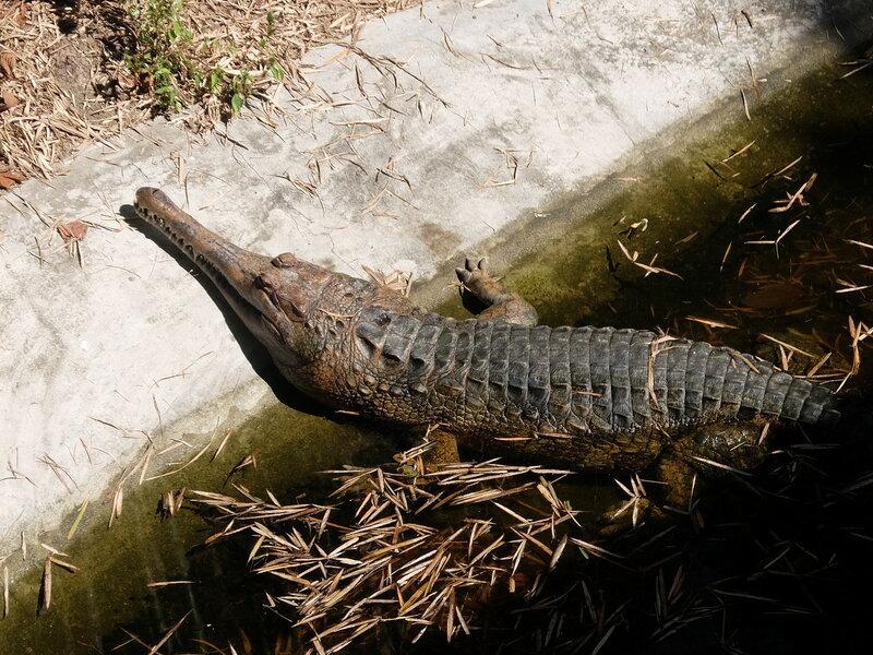 Чиангмай - Зоопарк - Гавиал