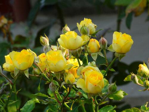 Розы солнечного цвета...