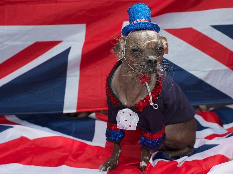 Пёс по кличке Йода принимает участие в 23-м ежегодном конкурсе World's Ugliest Dog Contest, 24 июня