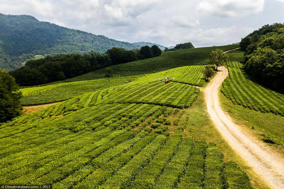 3. История краснодарского чая началась в 1901 году.