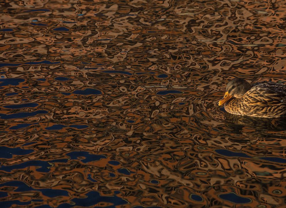 12. Самка большого крохаля со своими малышами, Нортумберленд, Великобритания. (Фото Jonathan