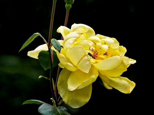 Роза жёлтая, роза чайная аромата необычайного