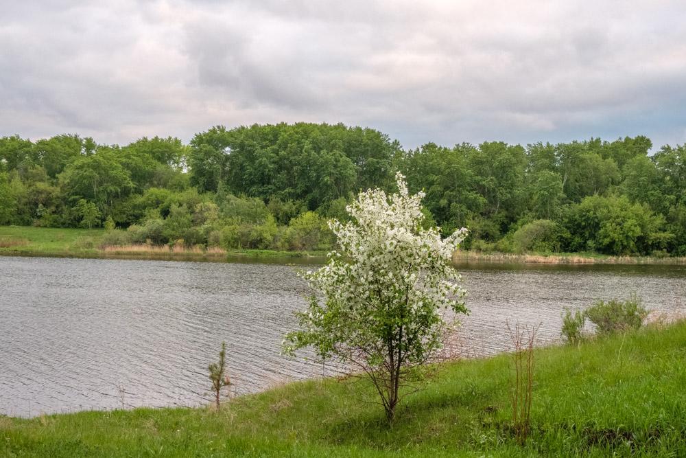 яблоня цветущая на берегу реки