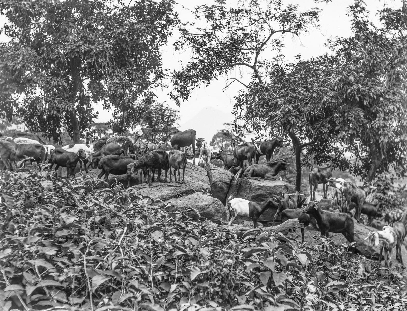 84. Стадо коз и овец