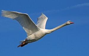 Полёт белой птицы