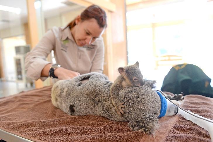 Малыш коала не отошел от матери во время операции (7 фото)