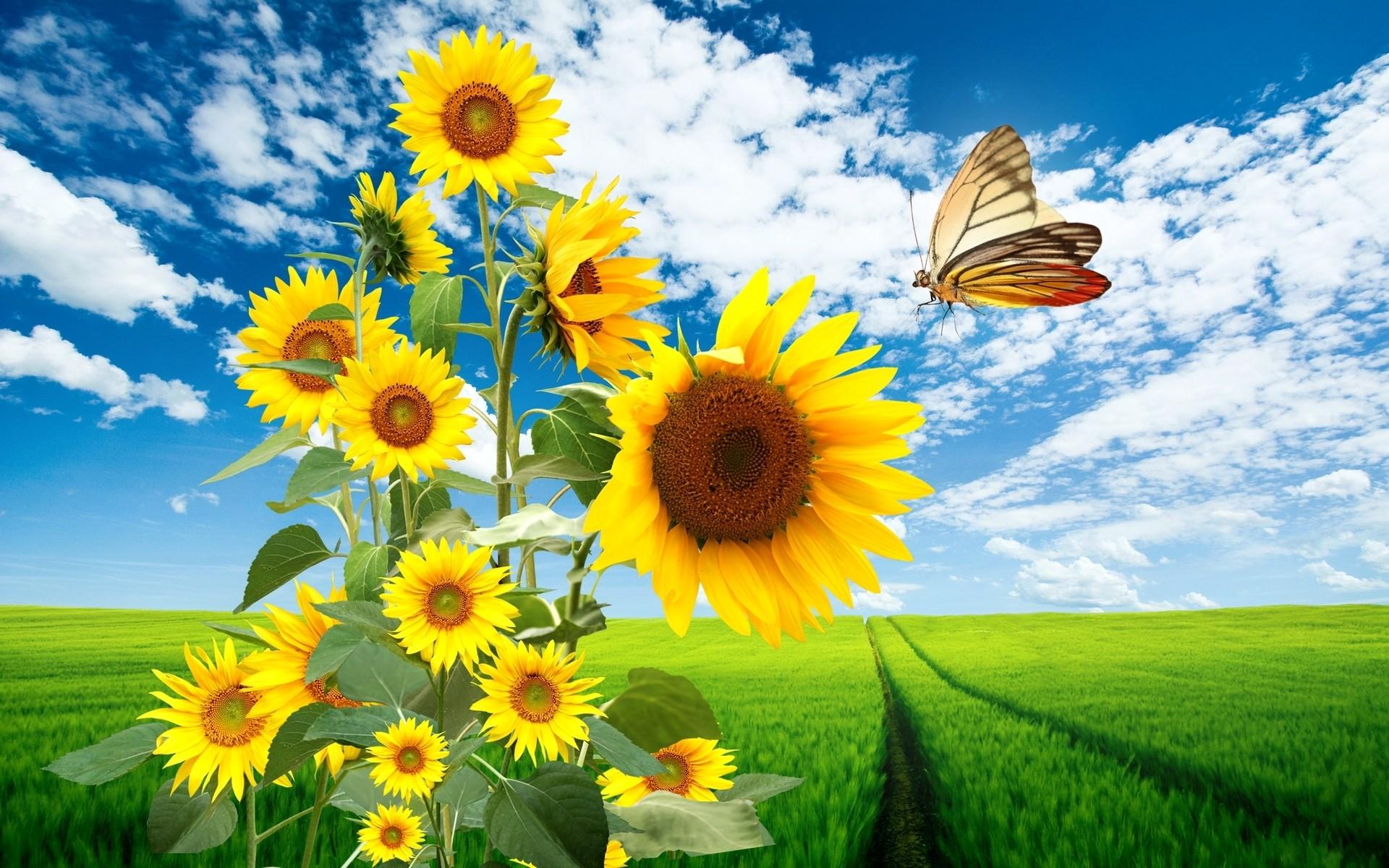 природа цветы подсолнечник  № 2671838  скачать