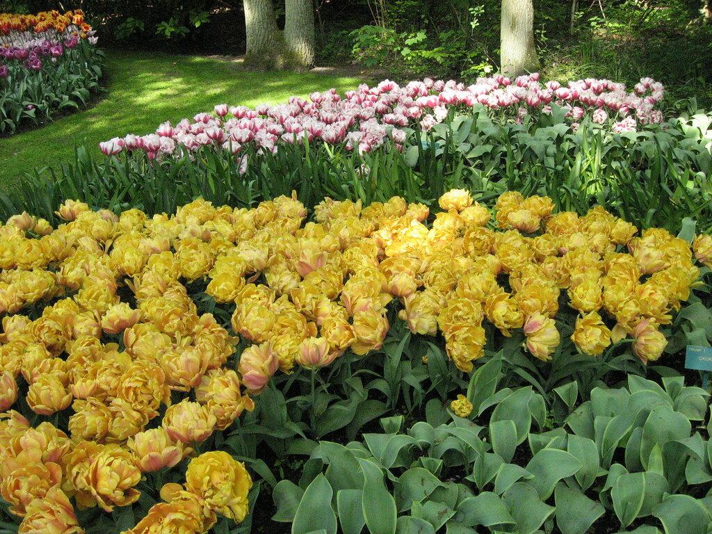 Тюльпановые розы