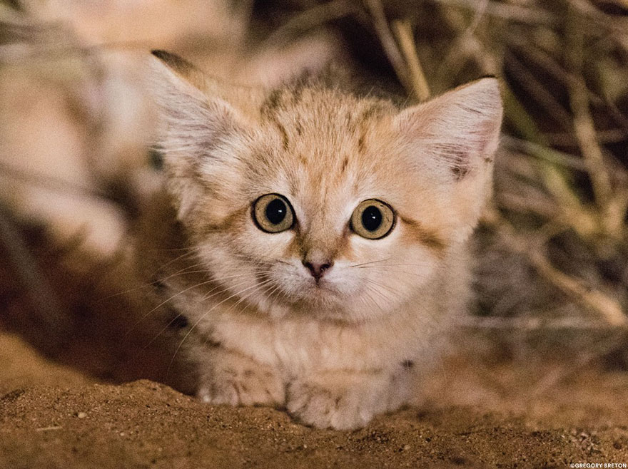 «Мы увидели три пары светящихся глаз»: ученым впервые удалось заснять котят барханного кота (7 фото)