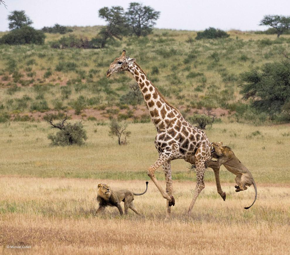 10. Категория «Портреты животных». Шимпанзе в национальном парке Кибале в Уганде. (Фото Peter Delane
