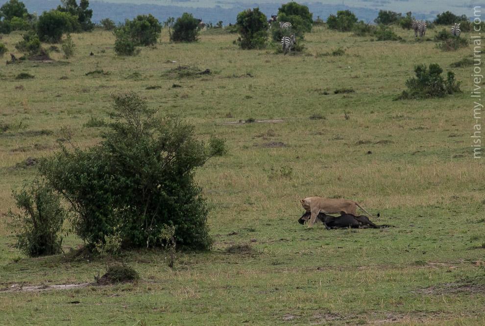 13. В прайде обычно охотятся львицы. Мелкая добыча съедается на месте, а крупная оттаскивается в пра
