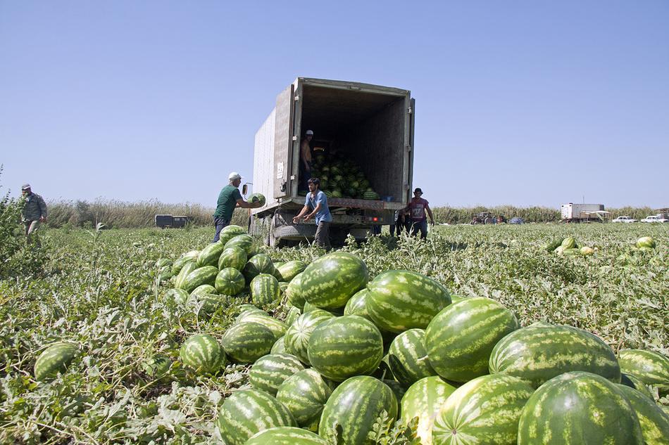 производство Южная Африка арбуз арбузы друг фараоны столица Дагестан