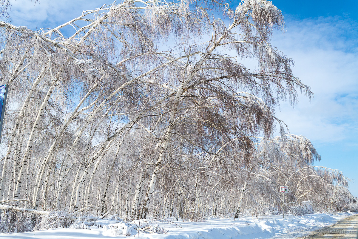 березы в снегу фото 3