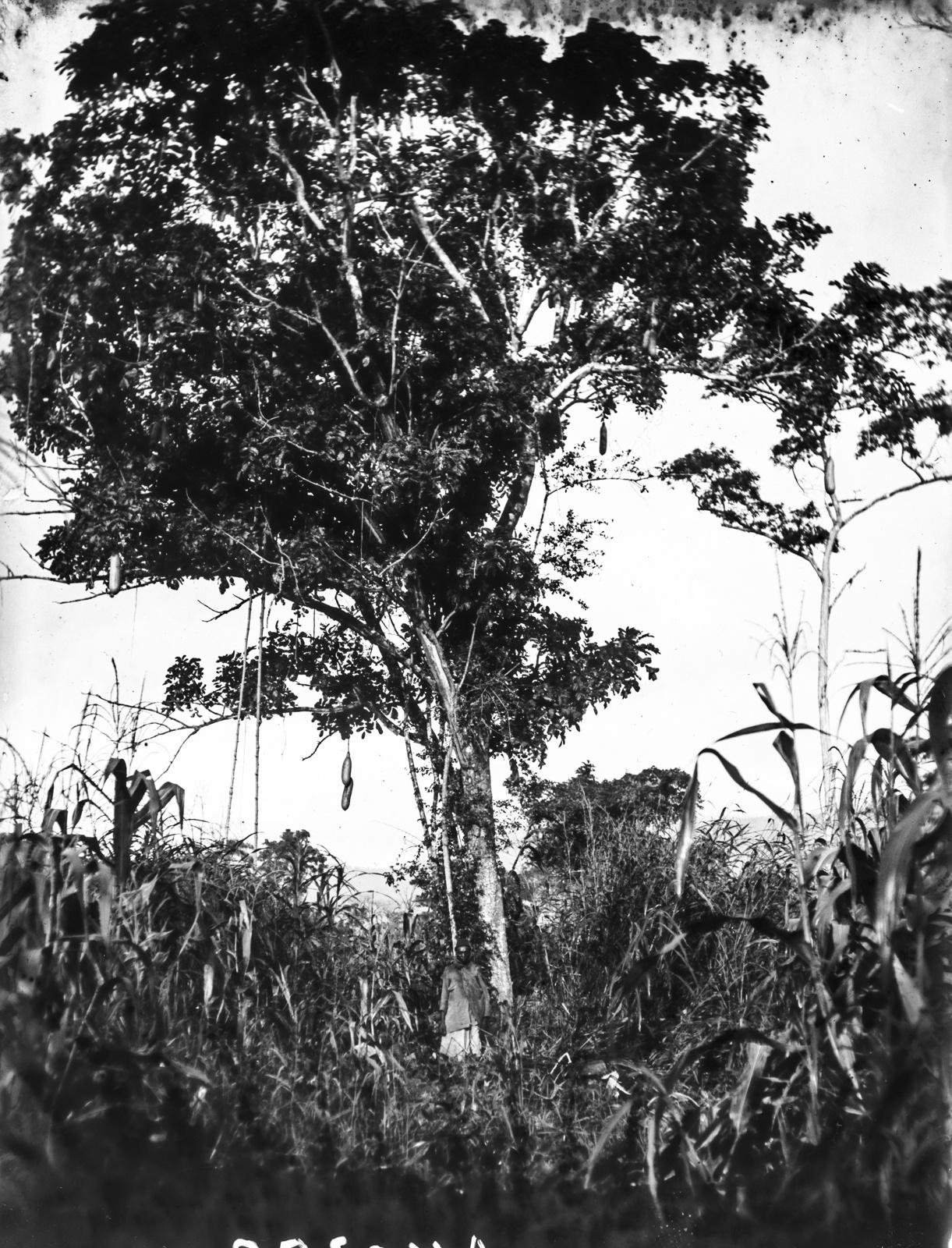 74. Горы Усамбара. Колбасное дерево