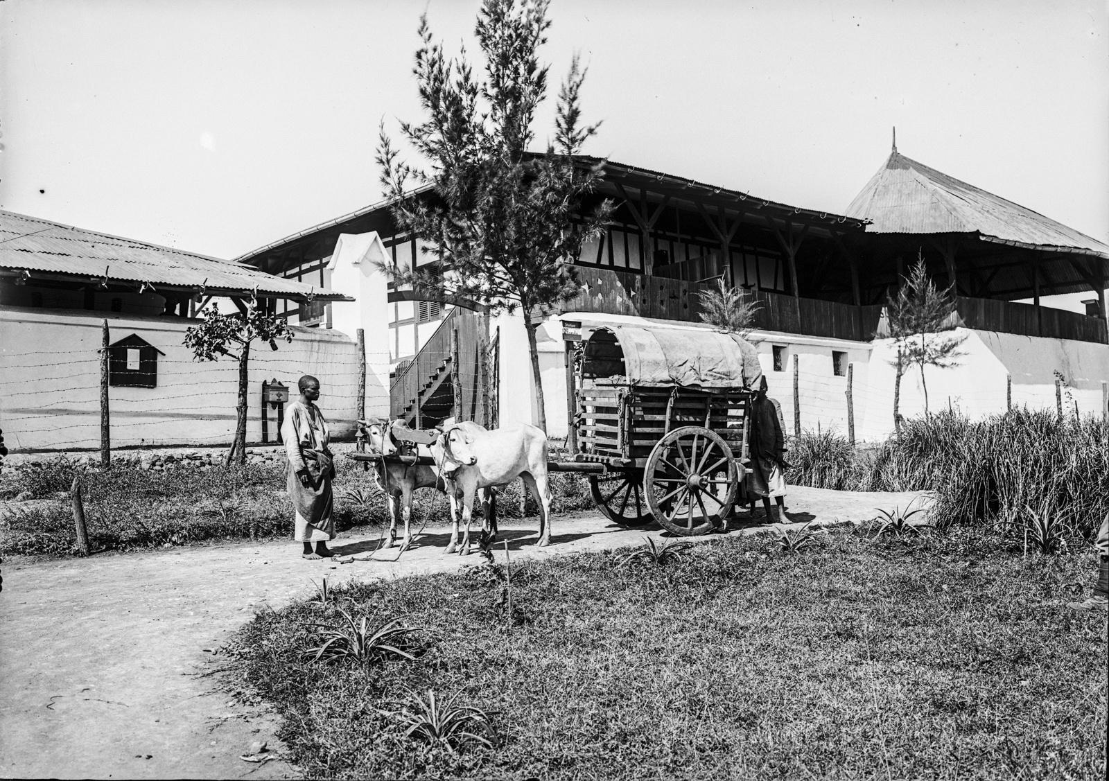 117. Станция немецкого общества Восточной Африки (ДОАГ) в Моши. Повозка, запряженная волами
