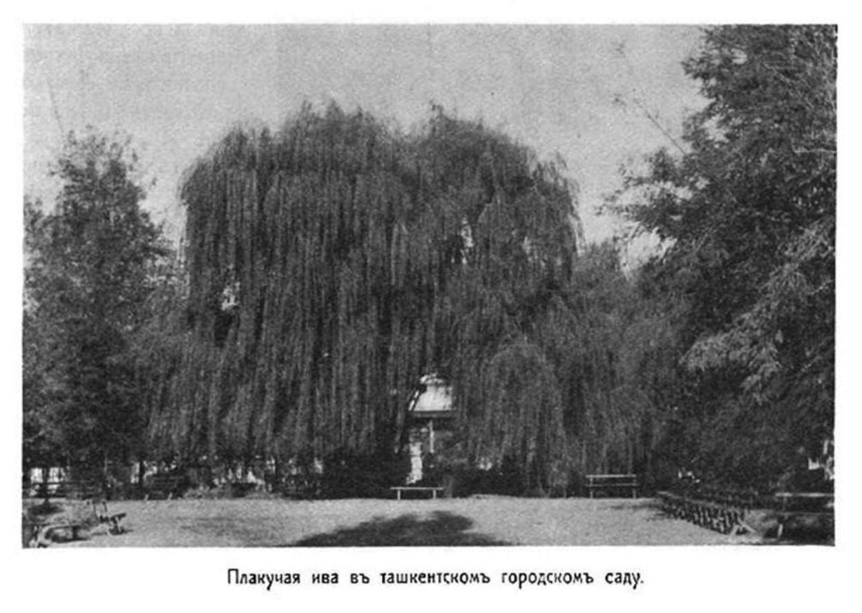 Плакучая ива в городском саду