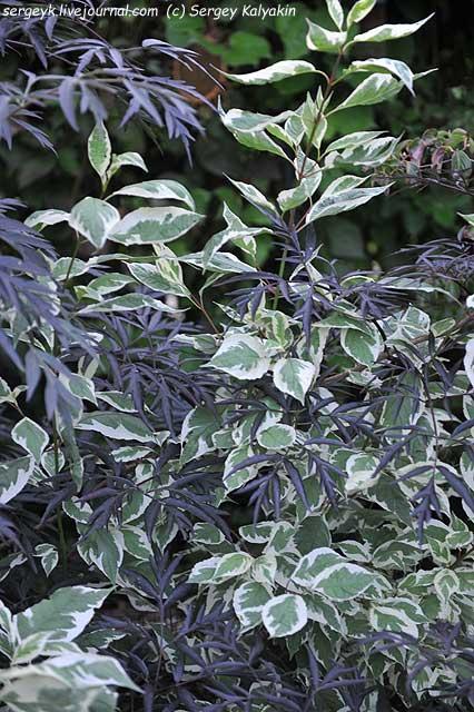 Cornus alba Elegantissima Sambucus nigra Black Lace.JPG