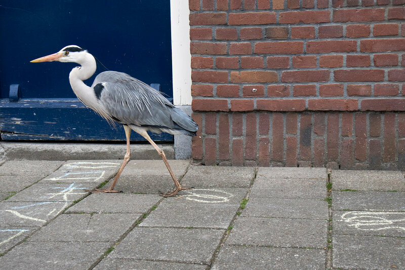 heron walks against the backdrop of the brick wall of a house in Amsterdam
