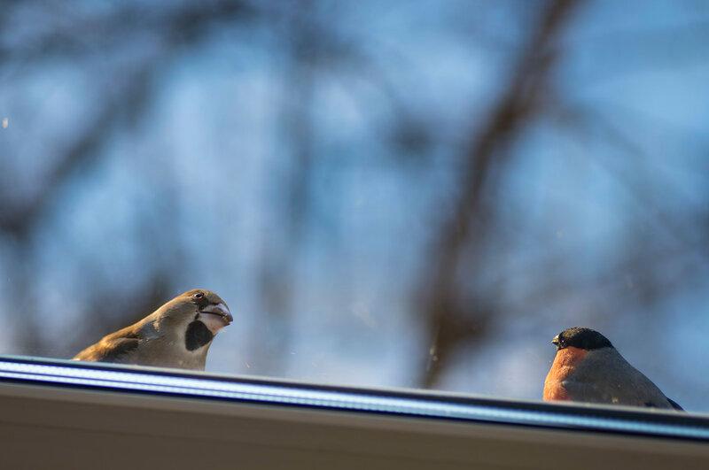 Дубонос на окне.