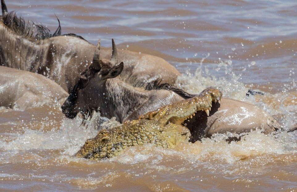 Атака крокодила на антилопу гну