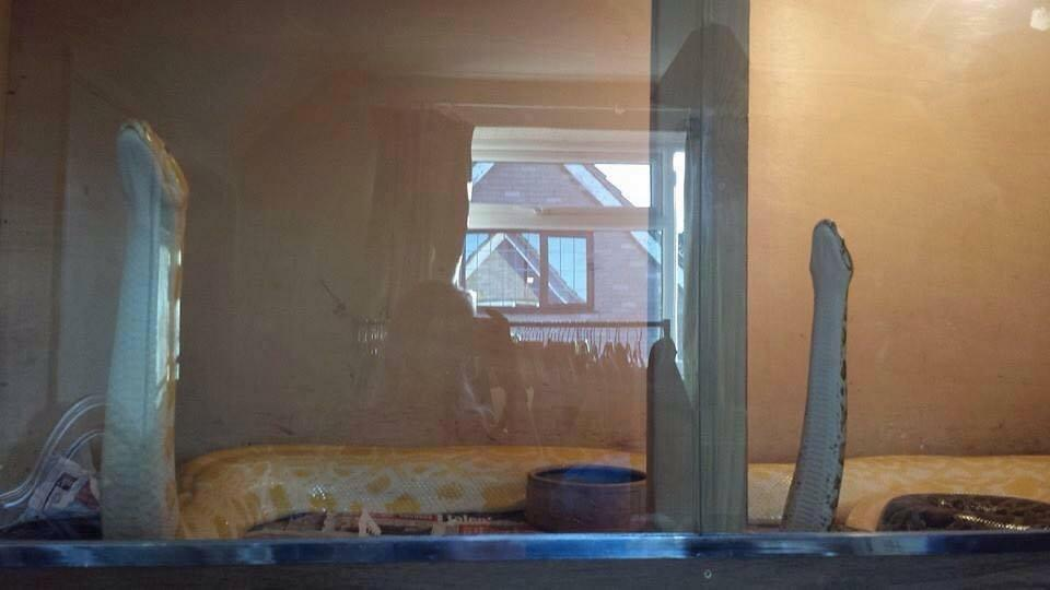 Британского любителя экзотических животных задушил любимый питон