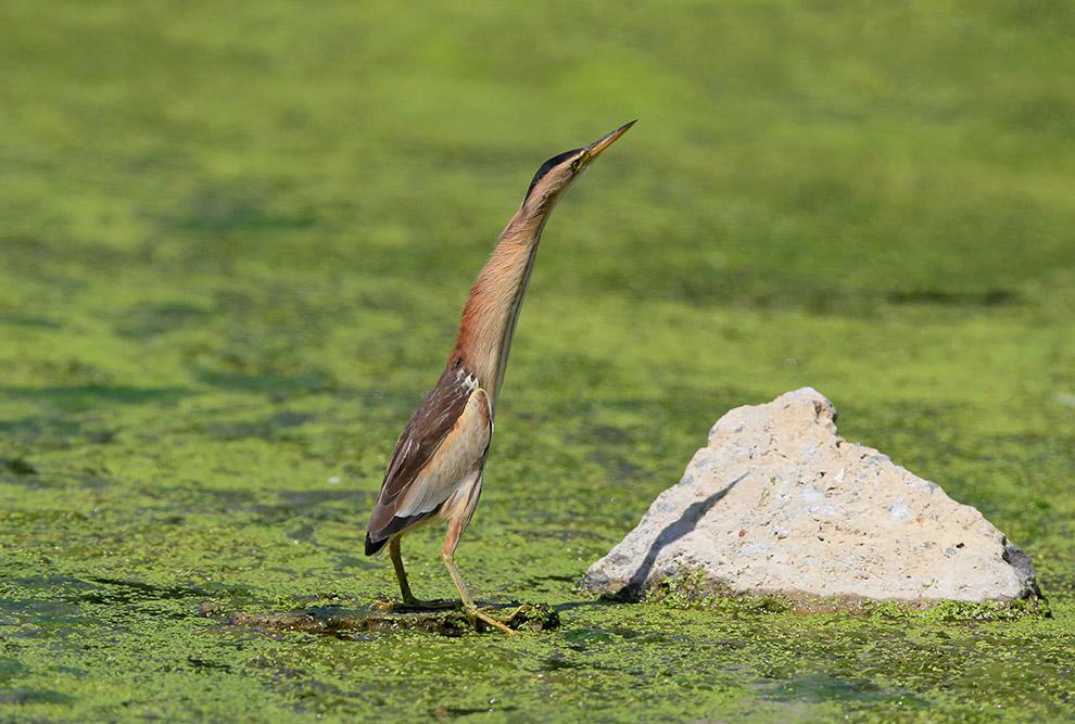 Есть такая птица — выпь