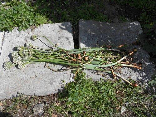 Семенники с луковицами общий вид.