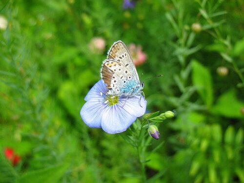 Цветок льна с бабочкой голубянкой