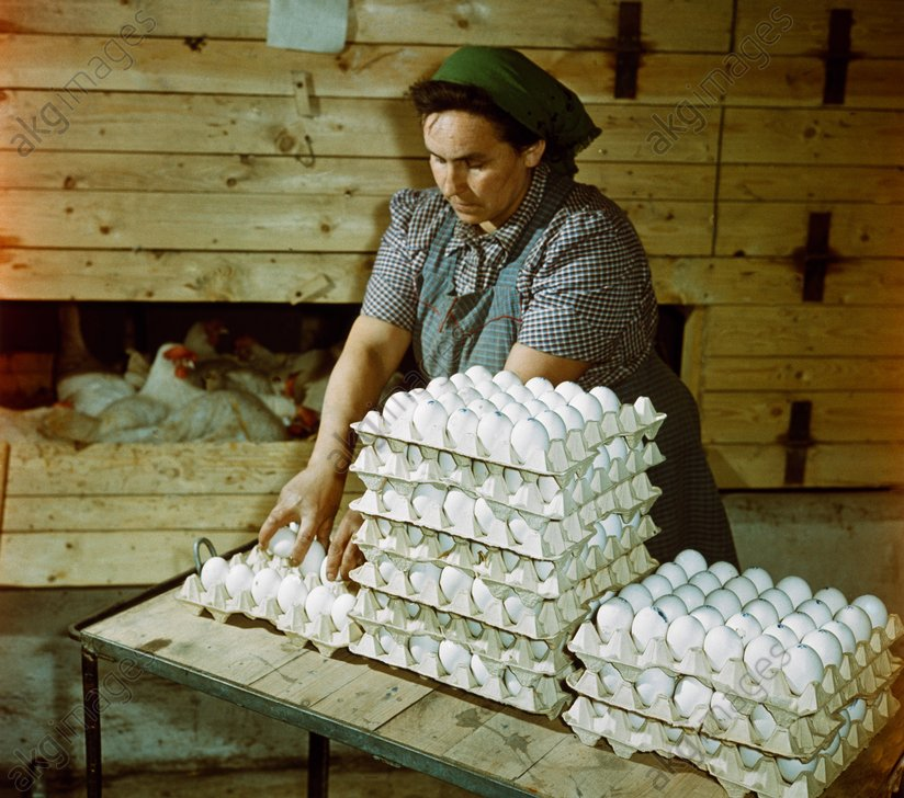 Geflьgelzucht DDR 1960 / Foto - Poultry Breeding / GDR / 1960 / Photo -