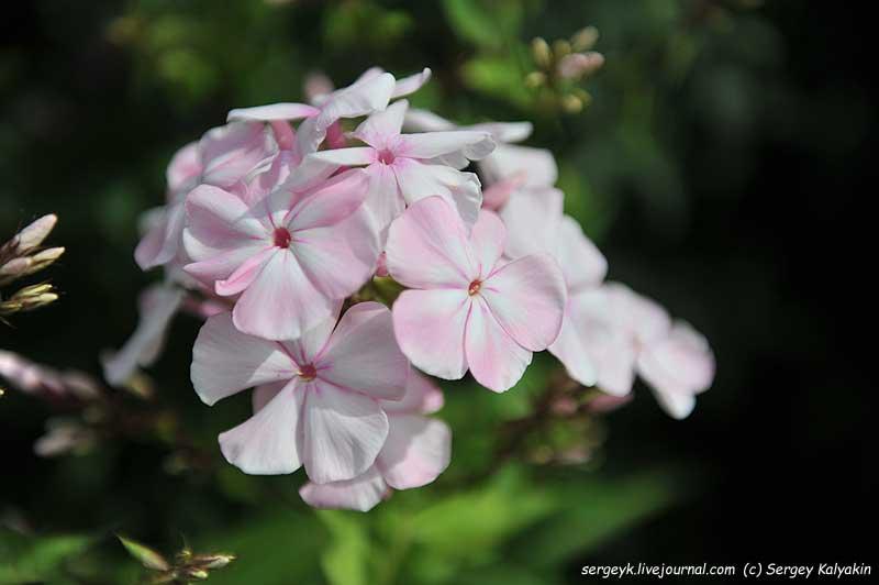 Phlox paniculata Tsvetushaya Sakura.JPG