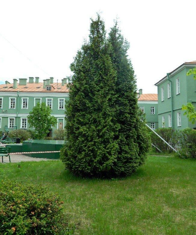 Дерево во дворе филфака